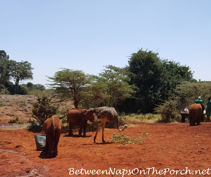 Baby Elephants Feeding at The David Sheldrick Wildlife Trust