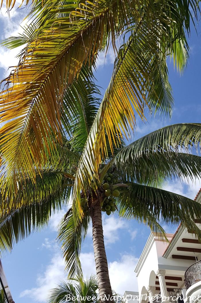 Coconut Palm in Playa del Carmen