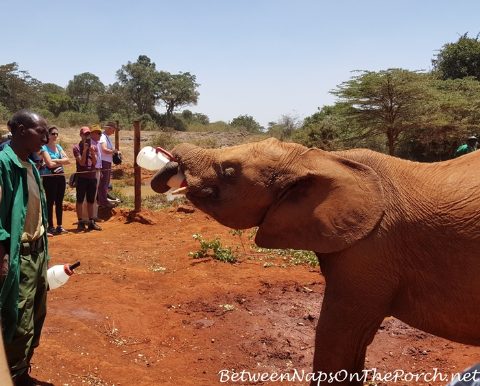 Feeding a Baby Elephant at The David Sheldrick Elephant Orphanage