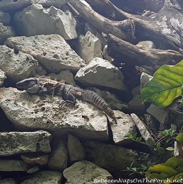 Large Lizards, Tulum Mexico