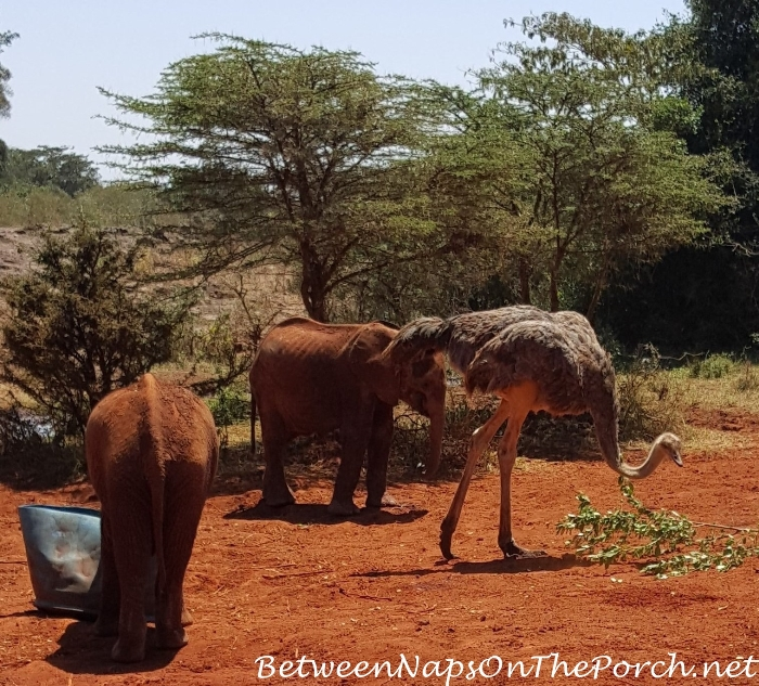Orphaned Baby Elephants at The David Sheldrick Wildlife Trust