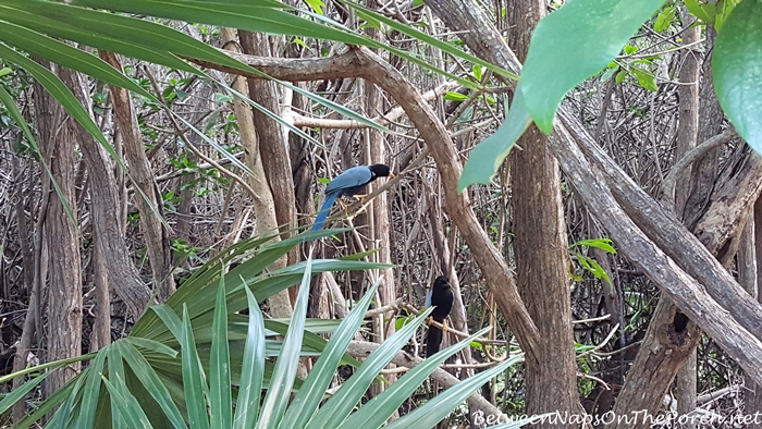 Yucatan Jay Birds in Tulum, Mexico