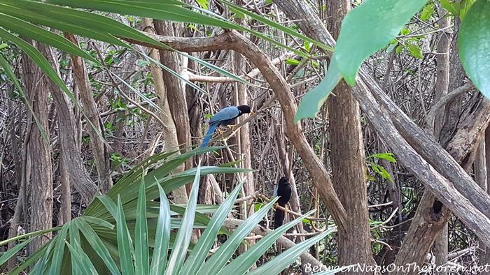 Yucatan Jay Birds in Tulum, Mexico