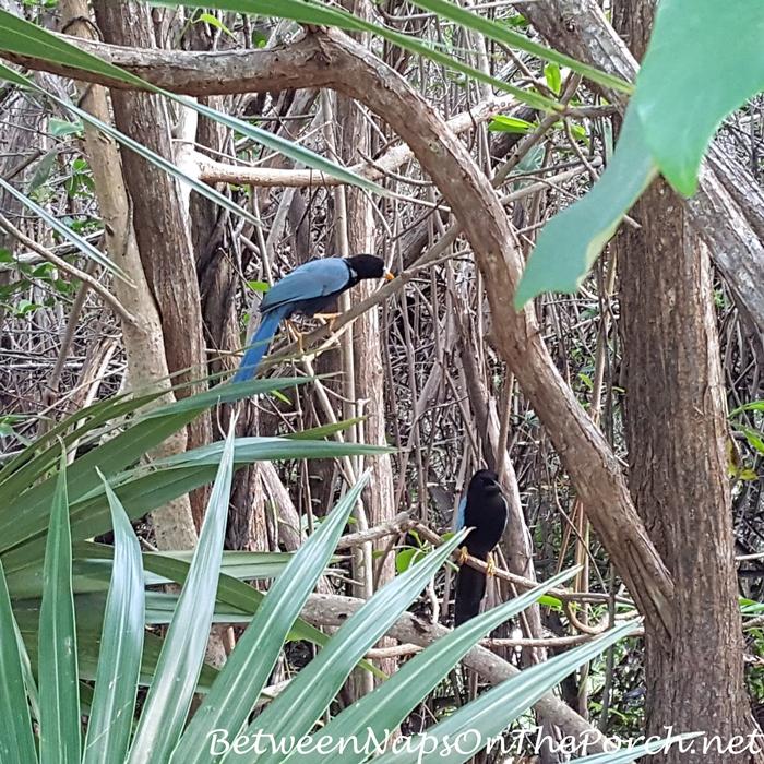 Yucatan Jays, Tulum, Mexico