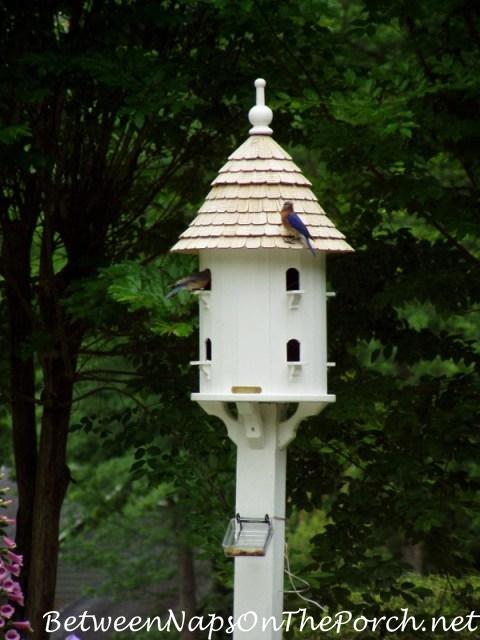 Bluebirds Nesting in Dovecote