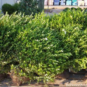 Green Beauty Boxwood