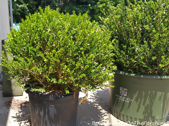 Green Beauty Boxwood Plant