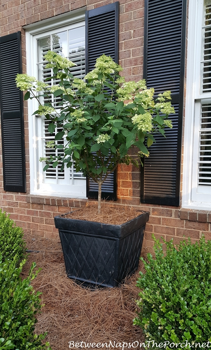 Limelight Hydrangea, Tree Form