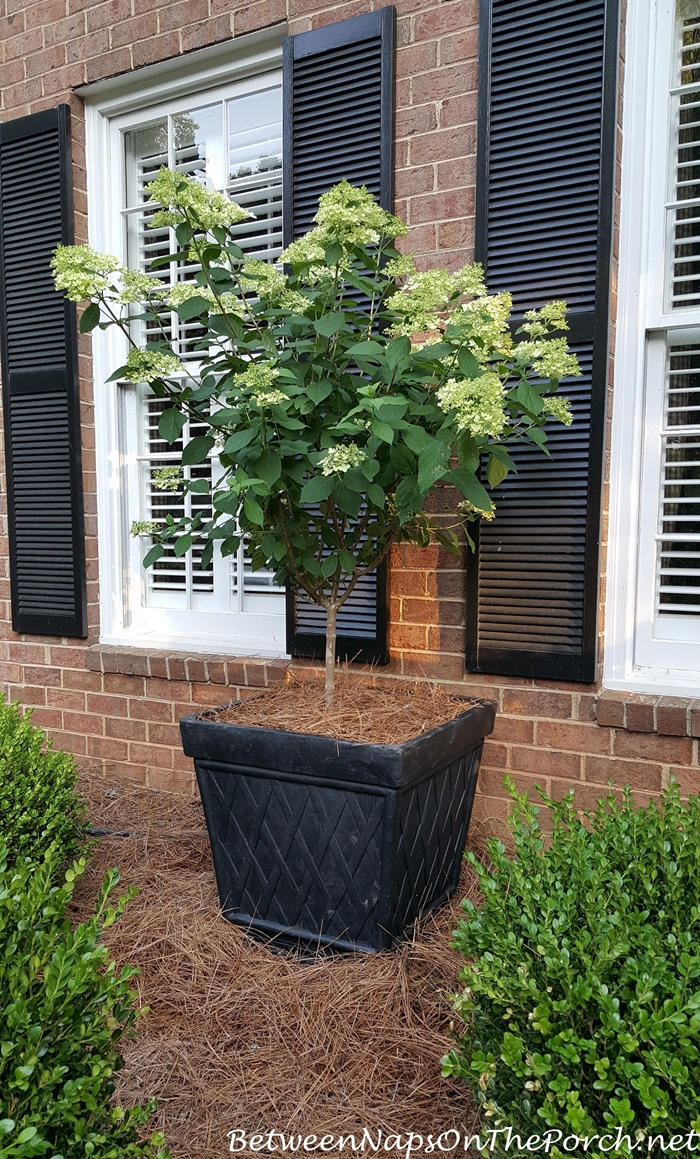 Standard, Tree-form Limelight Hydrangea in Planter