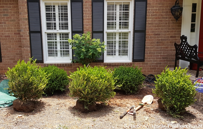 Planting Green Beauty Boxwood Shrubs