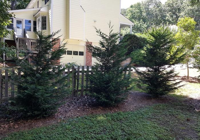 Leyland Cypress for Screening