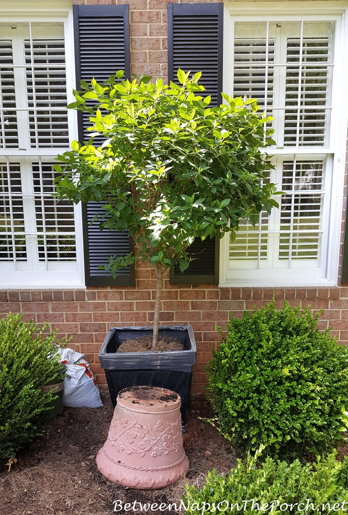 Tip for Transplanting Tree Form Plant to a Large Pot