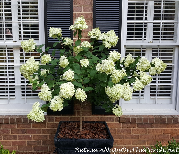Limelight Hydrangea Starts with white flowers that turn a soft, light green