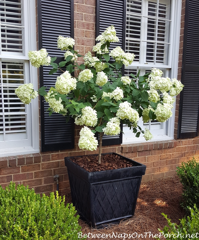 Limelight Hydrangea, White when first blooms, then goes pale green