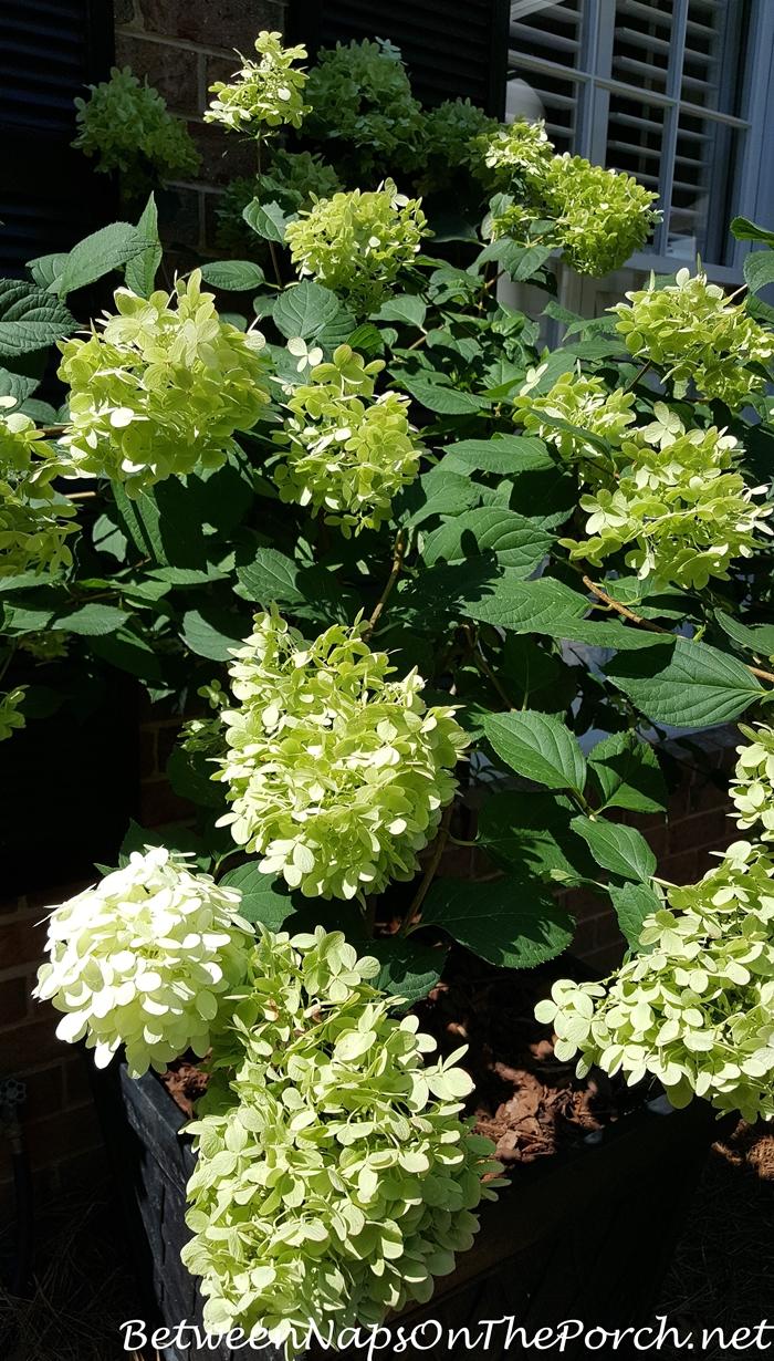 Limelight Hydrangea blooms
