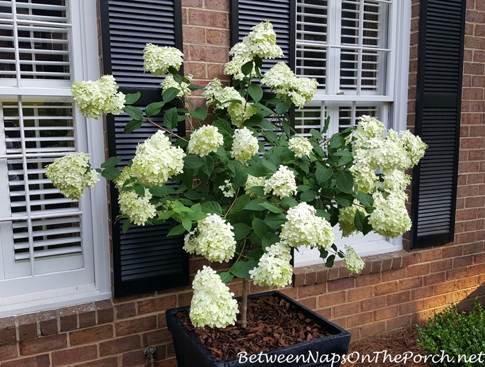 Standard Limelight Hydrangea, white when first blooms