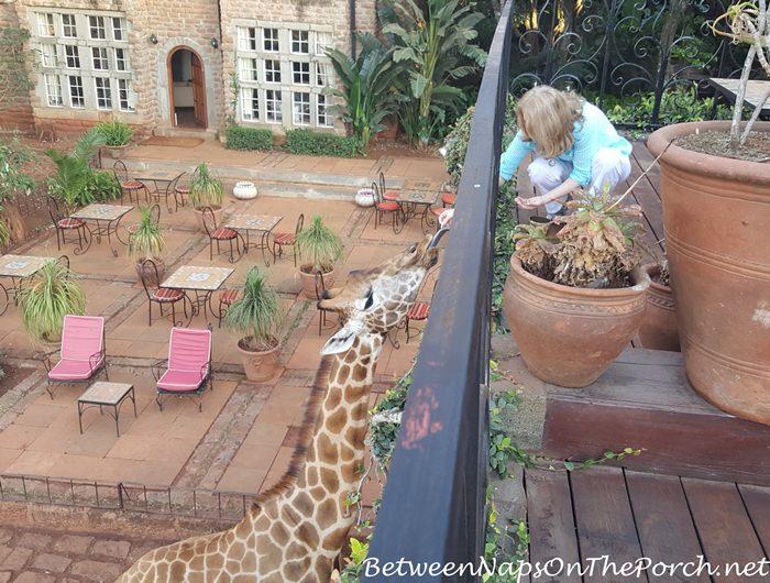 feeding-giraffes-at-giraffe-manorm