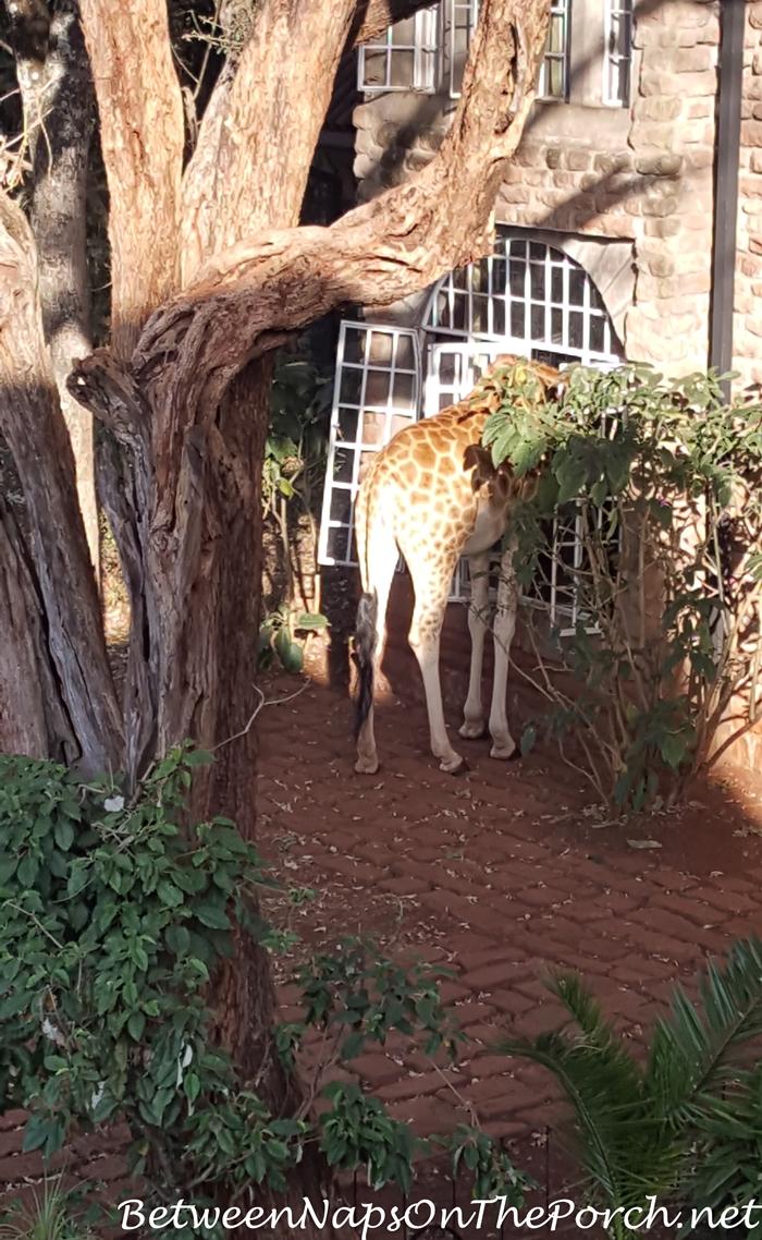 giraffe-manor-giraffe-peering-into-manor
