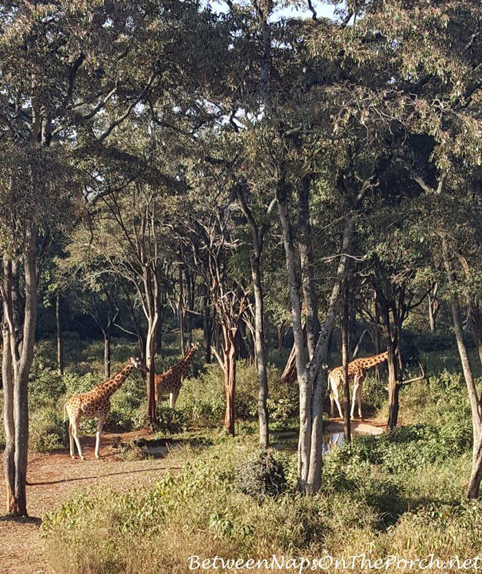 giraffe-roaming-around-giraffe-manor
