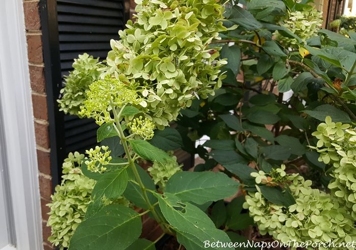 limelight-hydrangea-creating-new-blooms-in-early-fall