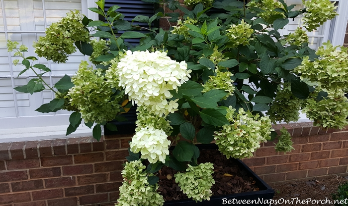new-blooms-on-limelight-hydrangea-in-early-fall