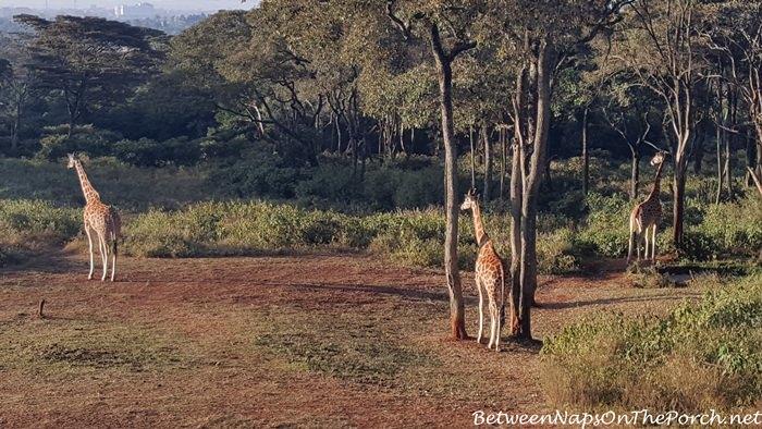 rothschild-giraffe-at-giraffe-manor