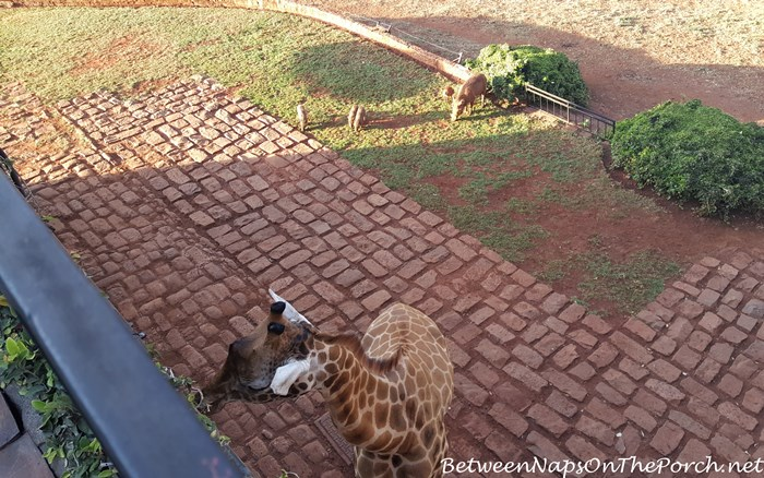 warthogs-giraffe-manor