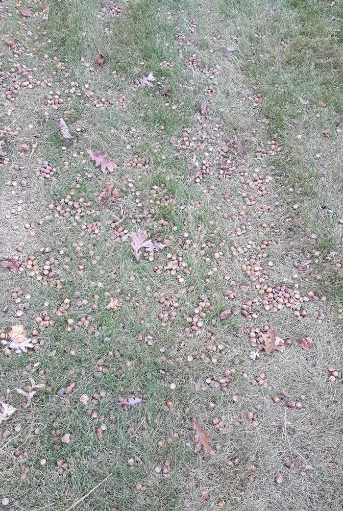 acorn-before-vacuuming