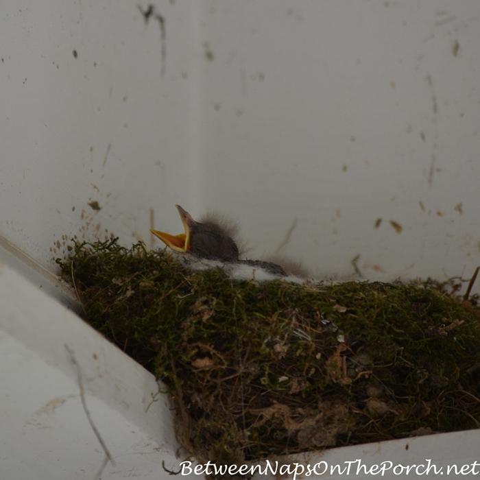 Baby Phoebe in Nest