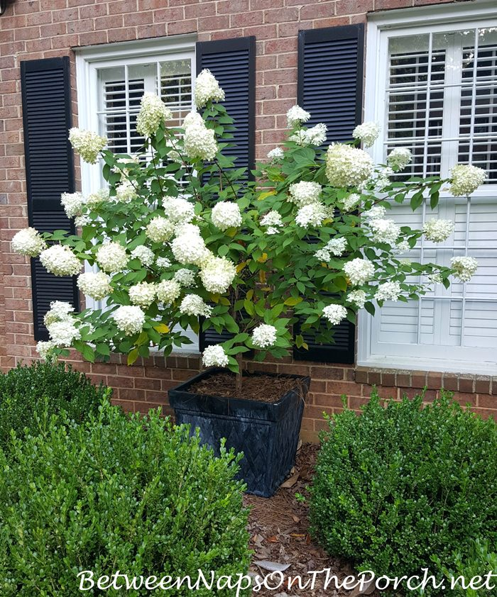 Limelight Hydrangea, Standard, Tree-form in Planter