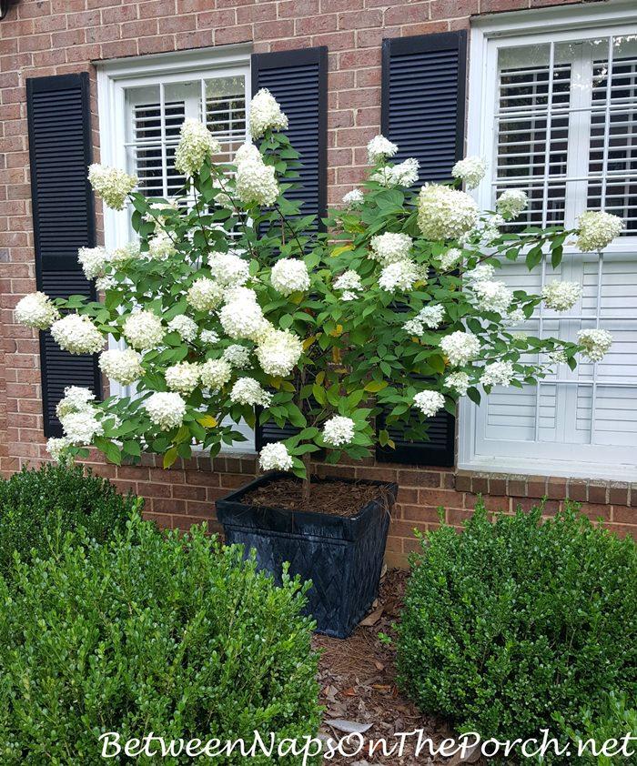 Limelight Hydrangea, Standard, Tree-form in Planter