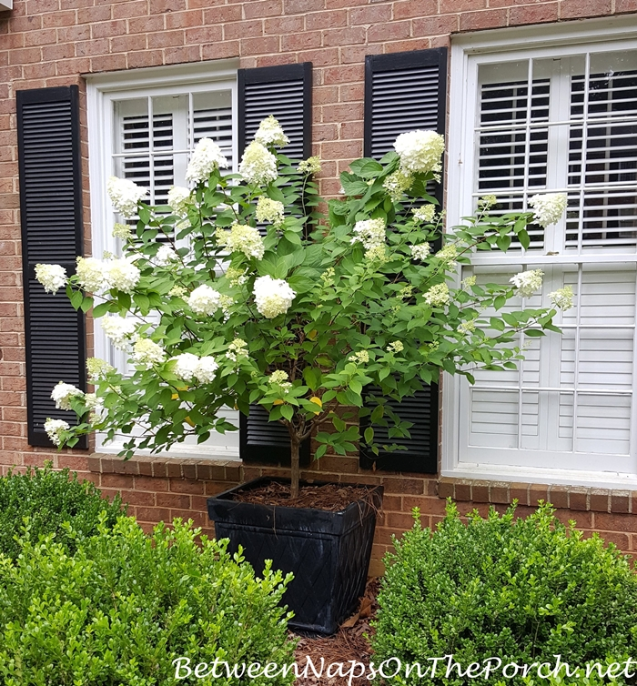 Limelight Hydrangea in Bloom in Planter