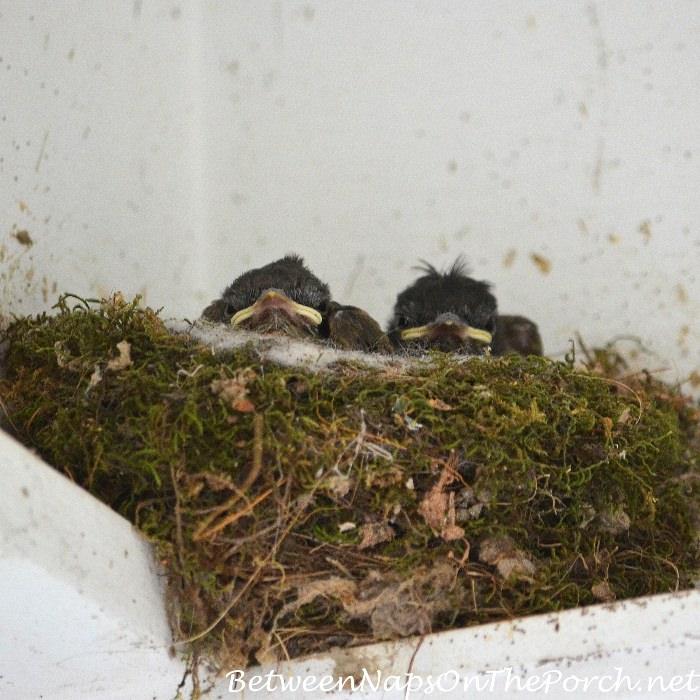 Eastern Phoebe Baby Birds in Nest