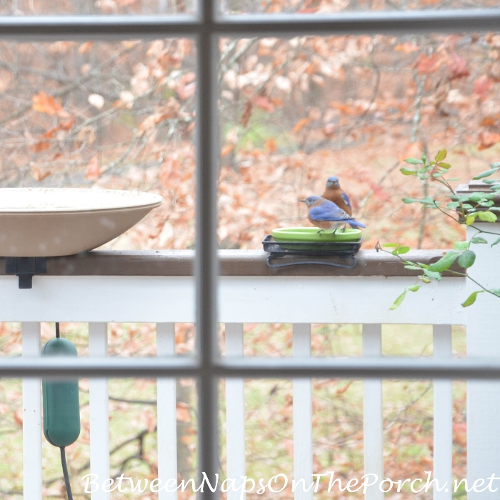 Bluebirds love dried mealworms