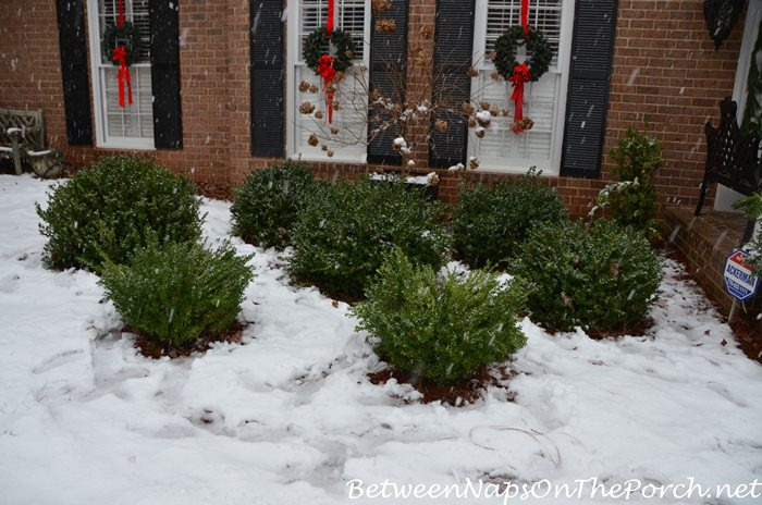 Green Beauty Boxwoods After Snow