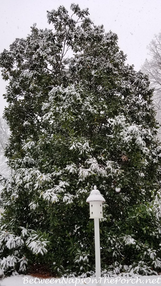 Magnolia in Georgia Snow, December 8, 2017