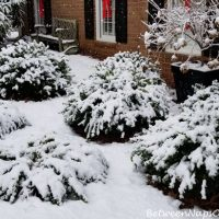 Snow Covered Green Mountain Boxwood Shrubs