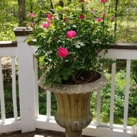 Knock-Out Rose in Bloom in Urn