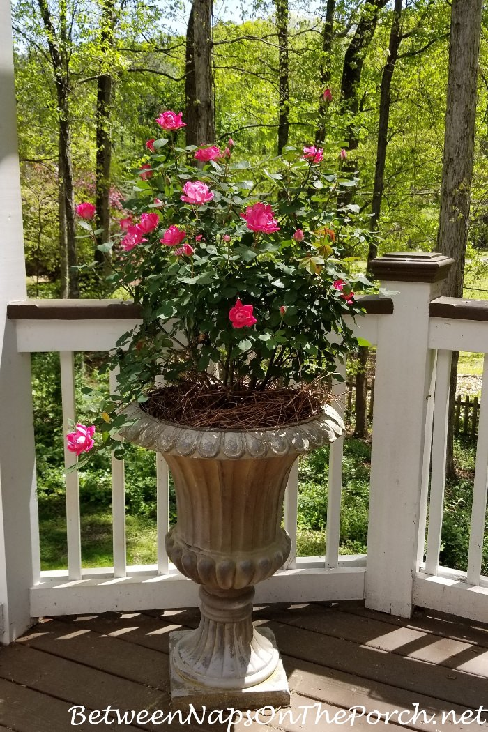 Pink Knock-out Rose Growing in Urn