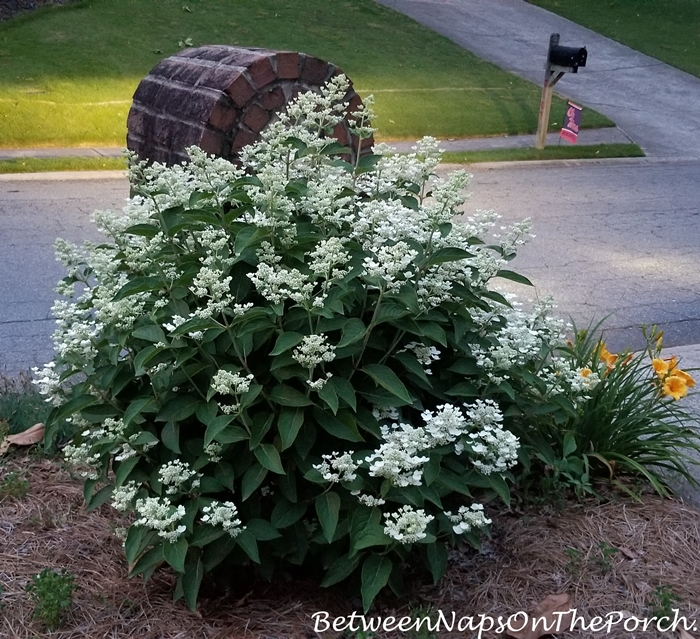 Dharuma Hydrangea Grows in Full Sun