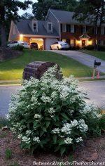 Dharuma Hydrangea, A Low-Growing Hydrangea That Loves the Sun