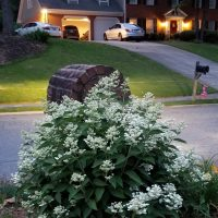 Dharuma Hydrangea, Low Growing, Sun Loving