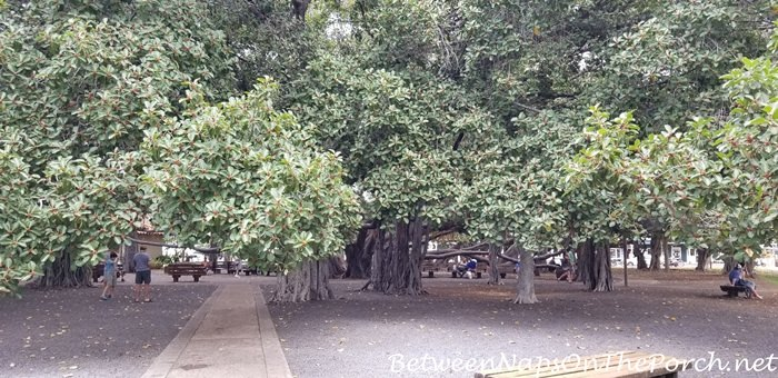 Banyan Tree, Lahaina, Maui, Hawaii 1