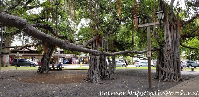 Banyan Tree, Lahaina, Maui, Hawaii 3