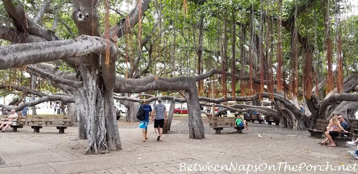 Banyan Tree, Lahaina, Maui, Hawaii 5