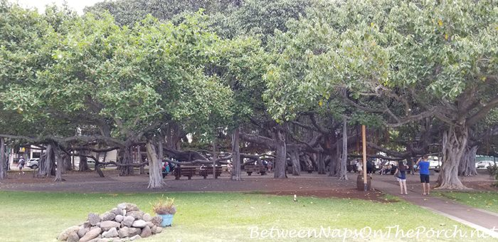 Banyan Tree, Lahaina, Maui, Hawaii 8