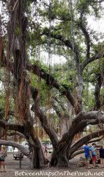 The Lahaina Banyan Tree, Truly The Most Amazing Tree I've Ever Seen