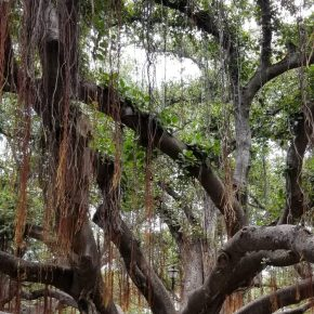 Main Trunk of Banyan Tree in Lahaina, Maui, Hawaii