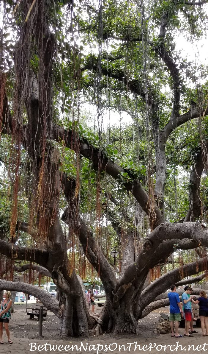 Main Trunk of Banyan Tree in Lahaina, Maui, Hawaii