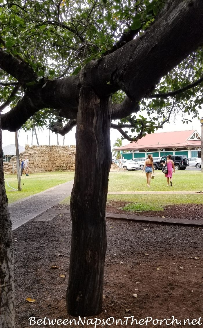 Support for Limb of Banyan Tree in Lahaina, Maui, Hiwaii